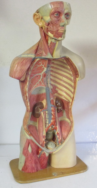 antique anatomical model human body with the muscles